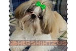 Featured Breeder of Shih Tzus with Puppies For Sale
