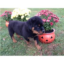 View full profile for Meadow Hill Rottweilers