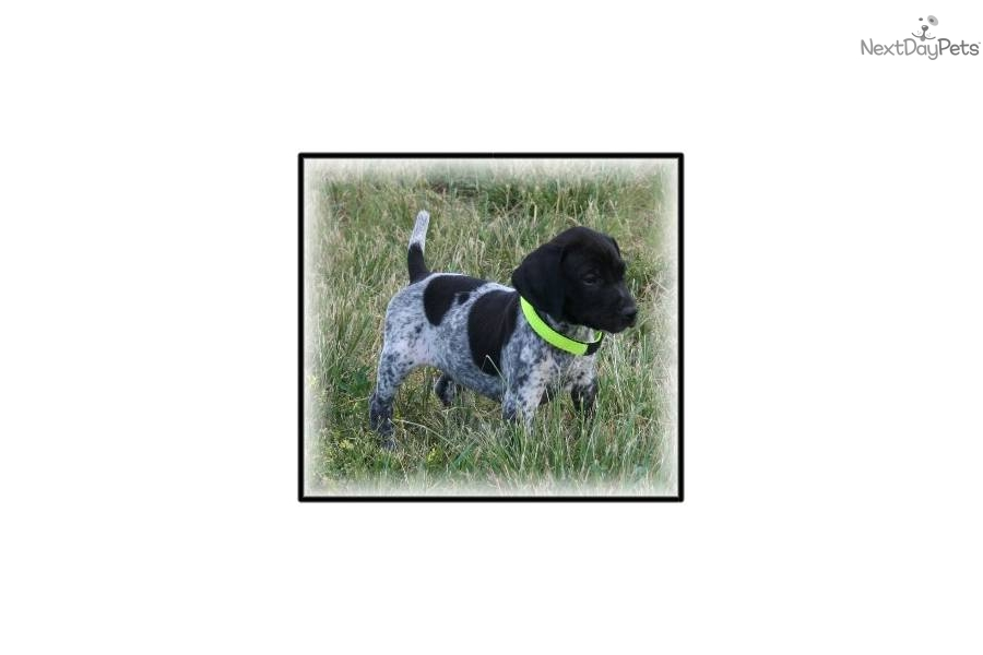 Meet Black Roan Males a cute German Shorthaired Pointer ...