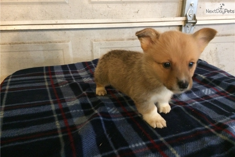 Topaz Corgi Puppy For Sale Near Indianapolis Indiana E56a7925 C0e1