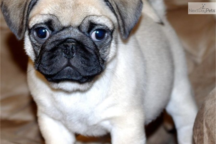 pugs for sale in oregon