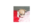 Picture of a Toy Fox Terrier Puppy