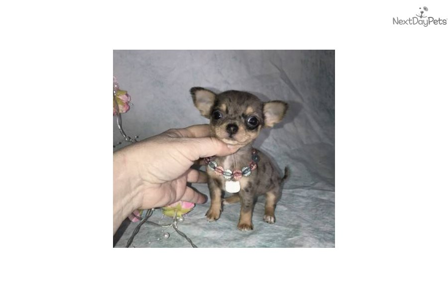 Sterling: Chihuahua puppy for sale near Los Angeles
