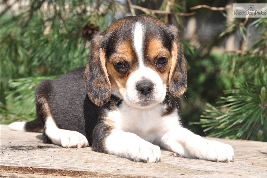 Beagle Full Grown Weight   www.imgkid.com - The Image Kid ...