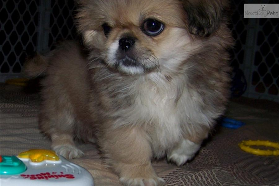 Meet Sleeve Tinsey A Cute Pekingese Puppy For Sale For