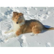 View full profile for Keystone Collies