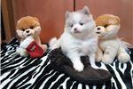 Picture of AKC Blue Eyes Teddy Looking 4 Hugs