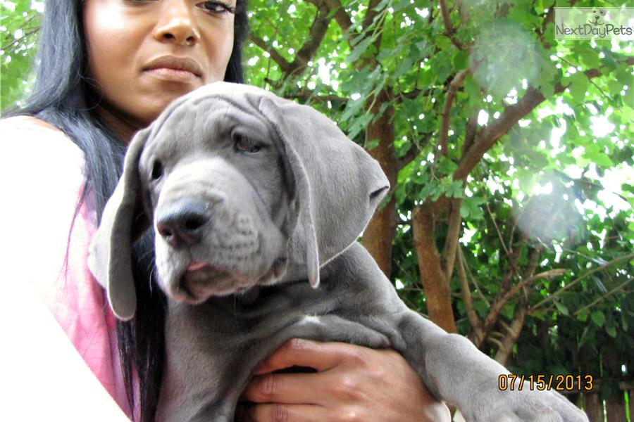 Great Dane puppy for sale near Tulsa, Oklahoma | 4508a50c-3ef1