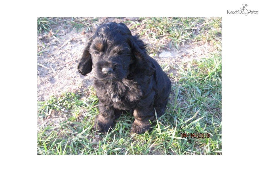 Harley Cocker Spaniel Puppy For Sale Near Roanoke Virginia