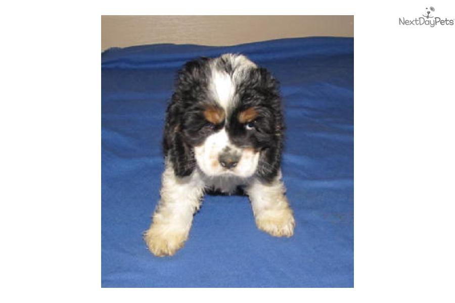 Liberty Cocker Spaniel Puppy For Sale Near Roanoke Virginia
