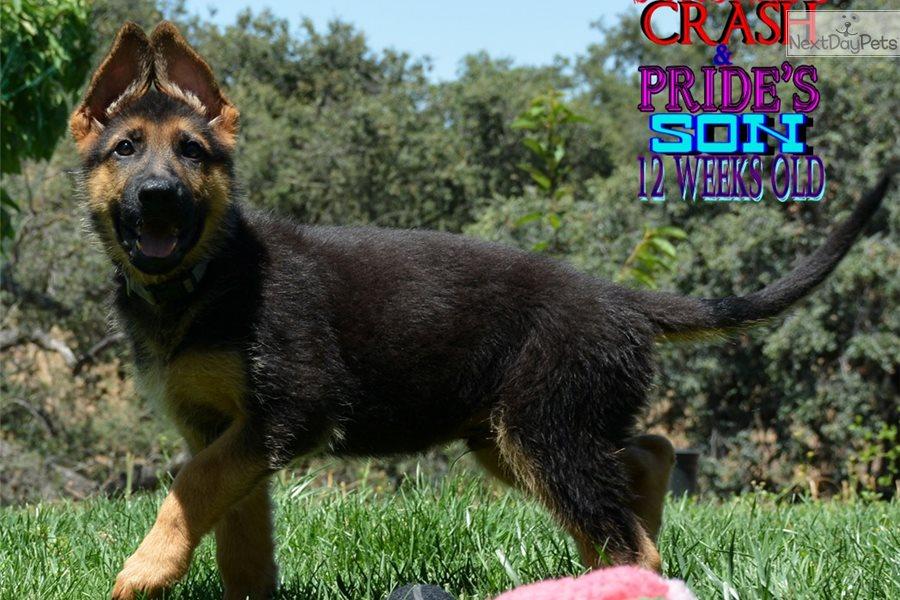 Moscow: German Shepherd puppy for sale near San Diego