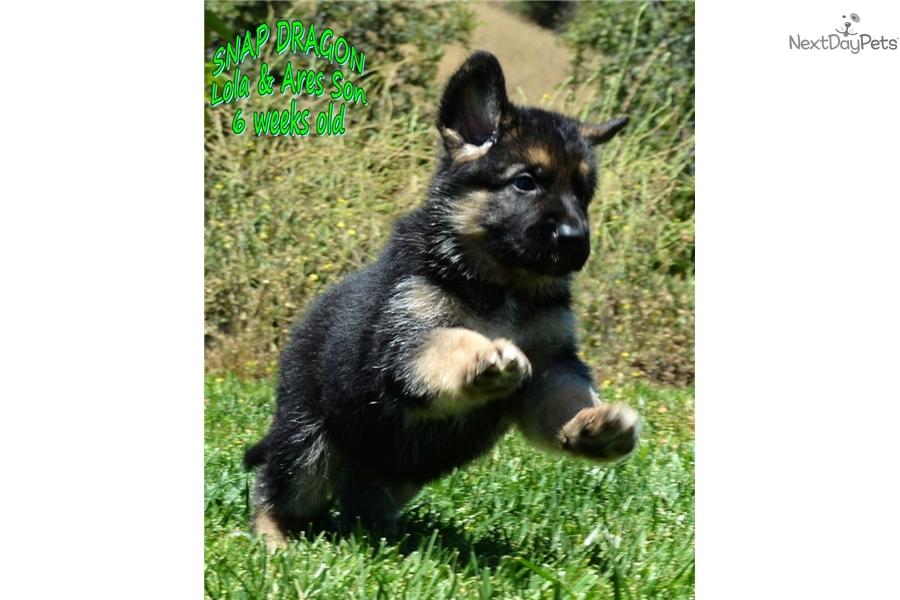 Summer: German Shepherd puppy for sale near San Diego