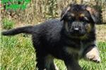 Scottish Deerhound for sale