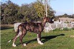 Picture of Scottish Deerhound and Borzoi cross pup