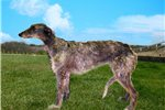 Picture of Scottish Deerhound and Borzoi cross pup