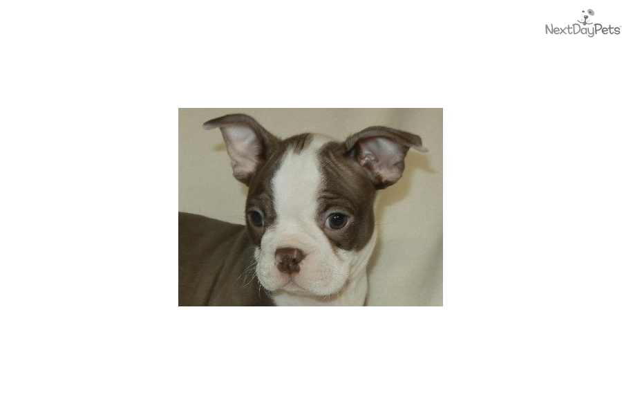 Baby Levi: Boston Terrier puppy for sale near Nashville, Tennessee