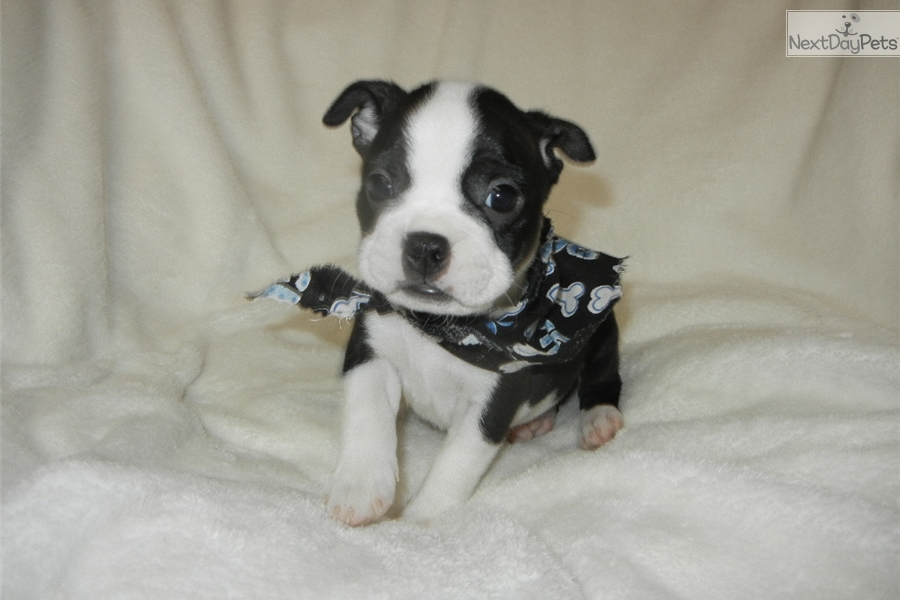 Buddy: Boston Terrier puppy for sale near Nashville, Tennessee