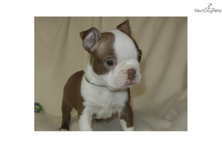 Cookie: Boston Terrier puppy for sale near Nashville, Tennessee