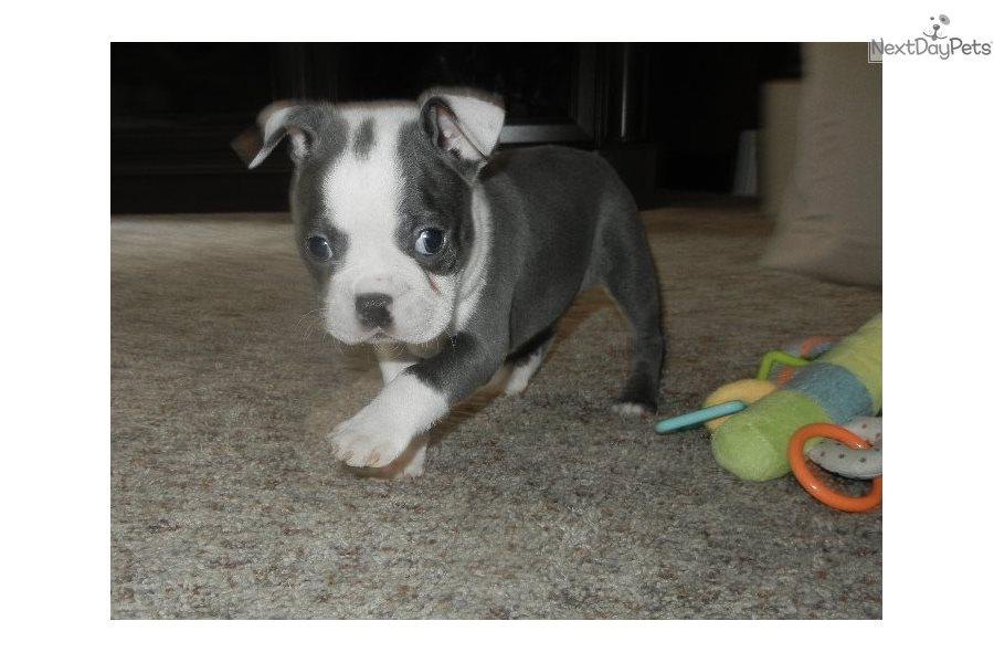 Levi: Boston Terrier puppy for sale near Nashville, Tennessee
