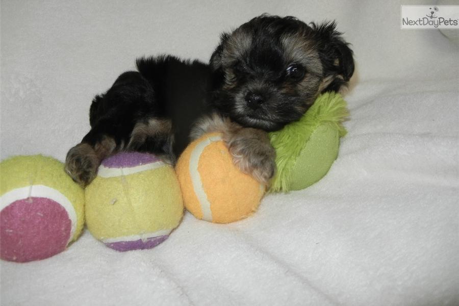 Mia Yorkiepoo Yorkie Poo Puppy For Sale Near Nashville Tennessee