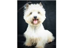 Featured Breeder of Cairn Terriers with Puppies For Sale