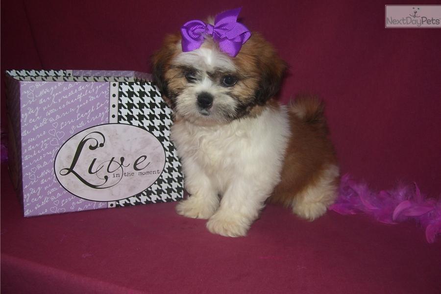 Amber Shih Tzu Puppy For Sale Near Joplin Missouri C30a5fa8 7451
