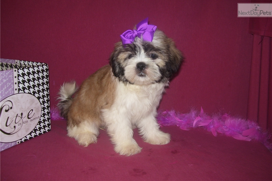 Amber Shih Tzu Puppy For Sale Near Joplin Missouri 02e3b3e9 A001