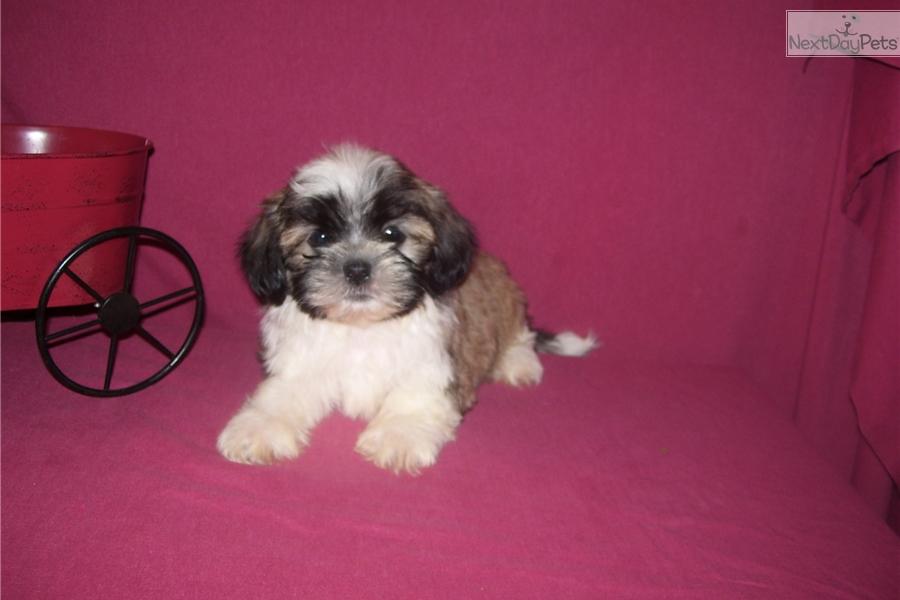 Winston Shih Tzu Puppy For Sale Near Joplin Missouri 5c9ebcd0 E041