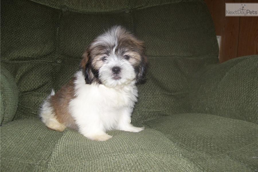 Gizmo Shih Tzu Puppy For Sale Near Joplin Missouri 34c07ec0 Ac71
