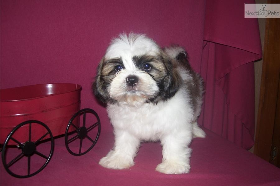 Jimmy Shih Tzu Puppy For Sale Near Joplin Missouri Cec49520 Eae1