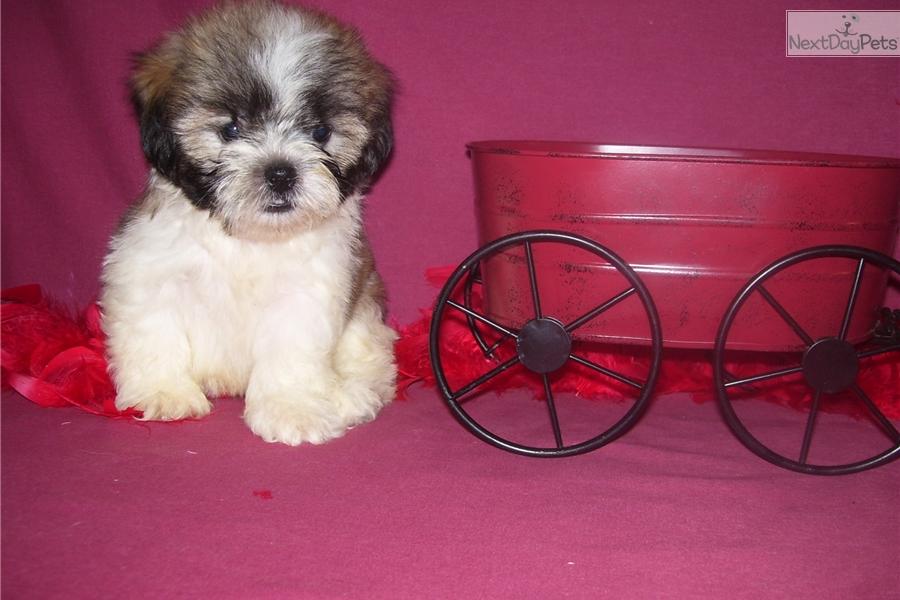 Jackson Shih Tzu Puppy For Sale Near Joplin Missouri C36cf6e5 A341