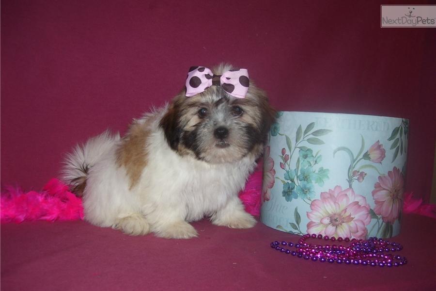 Aimee Shih Tzu Puppy For Sale Near Joplin Missouri F79ea23d 3ec1
