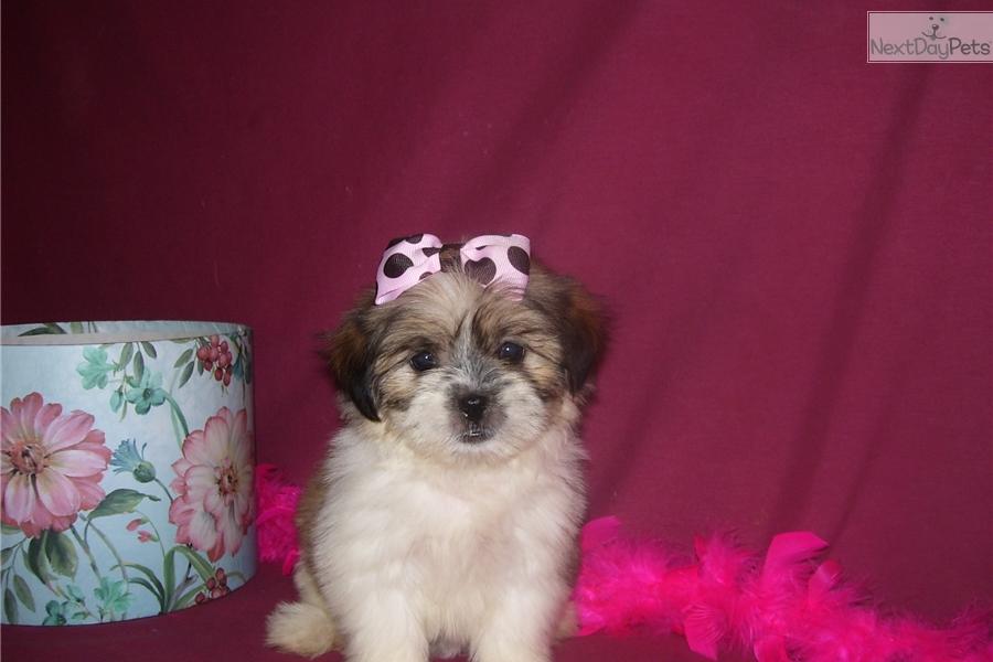 Ava Shih Tzu Puppy For Sale Near Joplin Missouri E114dc55 4181