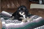 Picture of GORGEOUS MALE LHASA-POO....JASPER