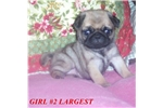 Featured Breeder of Pugs with Puppies For Sale