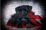Picture of AKC Black Megacoat Miniature Schnauzers