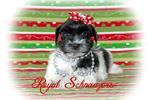 Picture of AKC Black Parti Miniature Schnauzer Christmas Pups