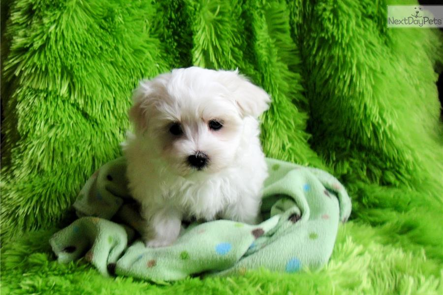 maltese puppies for sale in oklahoma maltese puppy for sale near tulsa oklahoma 84cf9be2 de41 1102