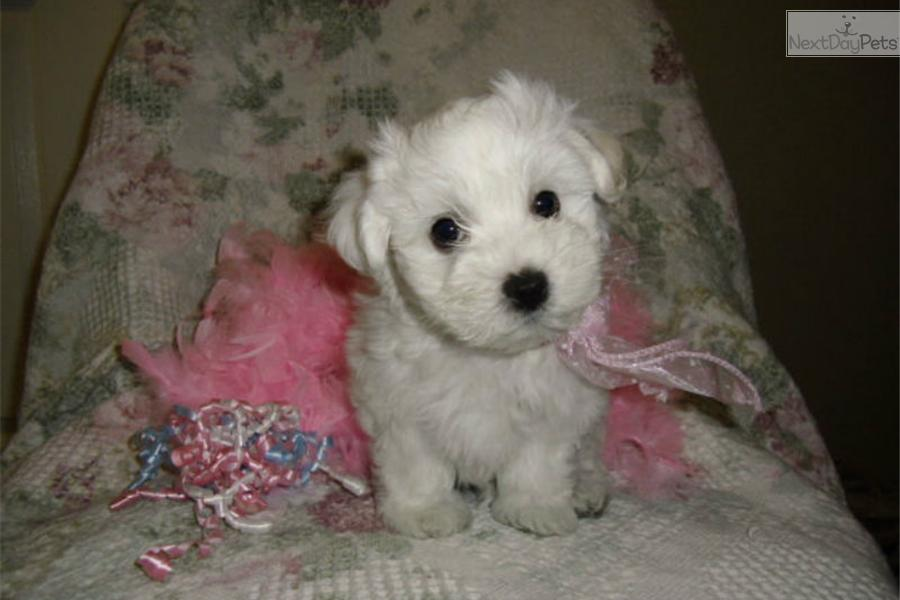 maltese puppies for sale in oklahoma maltese puppy for sale near tulsa oklahoma 3f9f5d48 1e61 1980