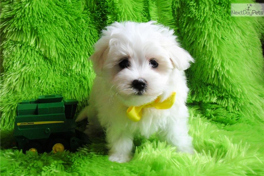 maltese puppies for sale in oklahoma maltese puppy for sale near tulsa oklahoma 84cf9be2 de41 3665