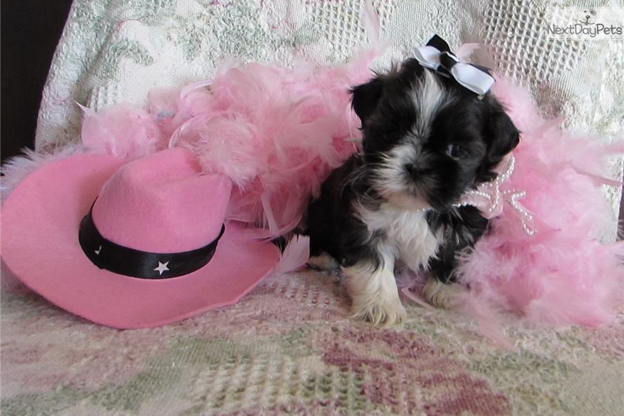Josie Shih Tzu Puppy For Sale Near Tulsa Oklahoma 6a766d96 1ef1