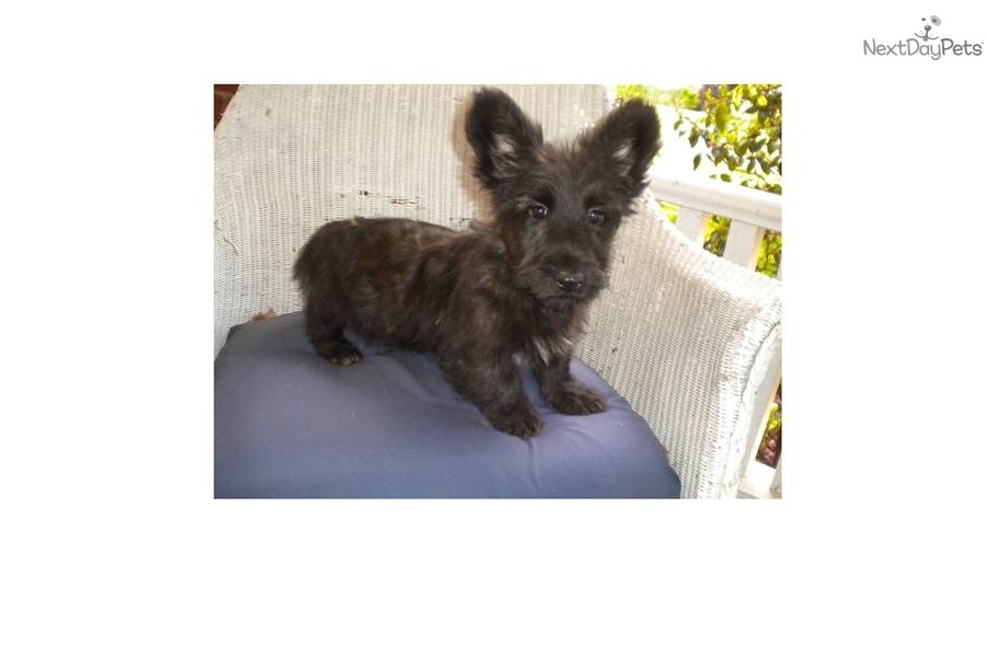 skye terrier for sale skye terrier puppy for sale near buffalo new york 2874