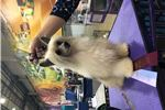 Picture of Sybil-puff female-