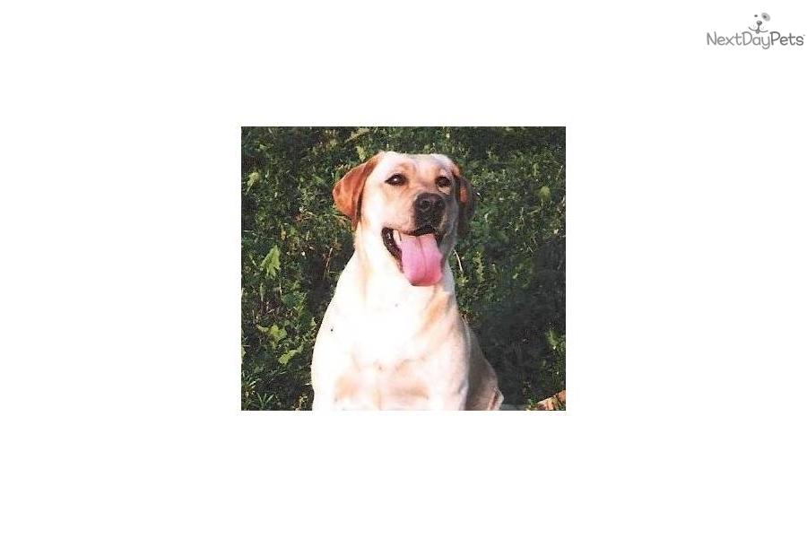 Meet Adult Yellow Females a cute Labrador Retriever puppy ...