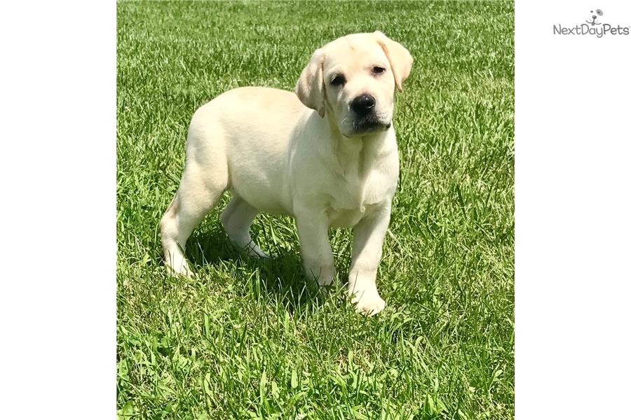 Labrador Retriever Puppy For Sale Near Dayton Springfield Ohio