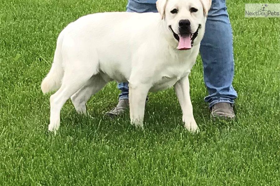 Labrador Retriever puppy for sale near Dayton / Springfield