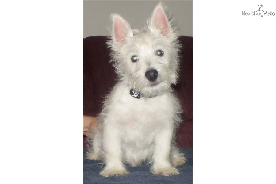 West Highland Terrier Puppies For Sale Ohio  West Highland White