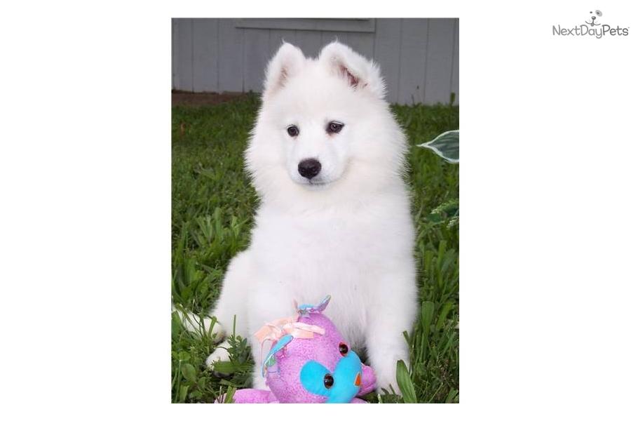 Samoyed puppy for sale near Southeast Missouri, Missouri ...