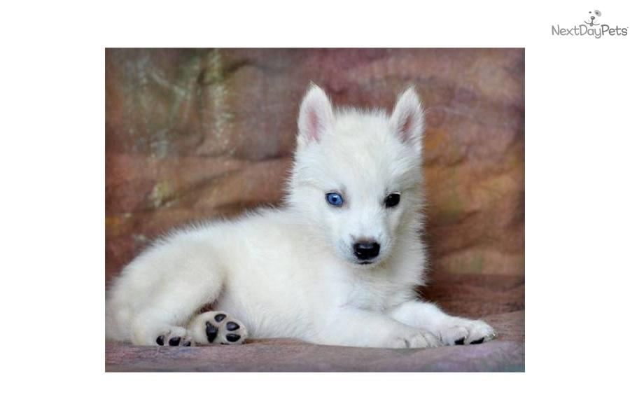 Alaskan Klee Kai Puppy For Sale Near Joplin Missouri