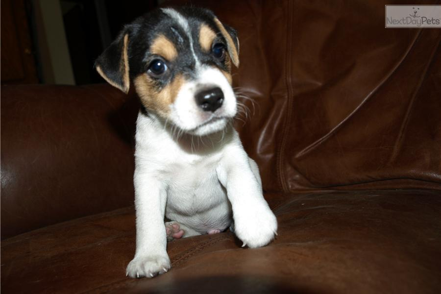 Dd Near Me >> Jack Russell Terrier puppy for sale near Space Coast, Florida | 9caf46df-e781